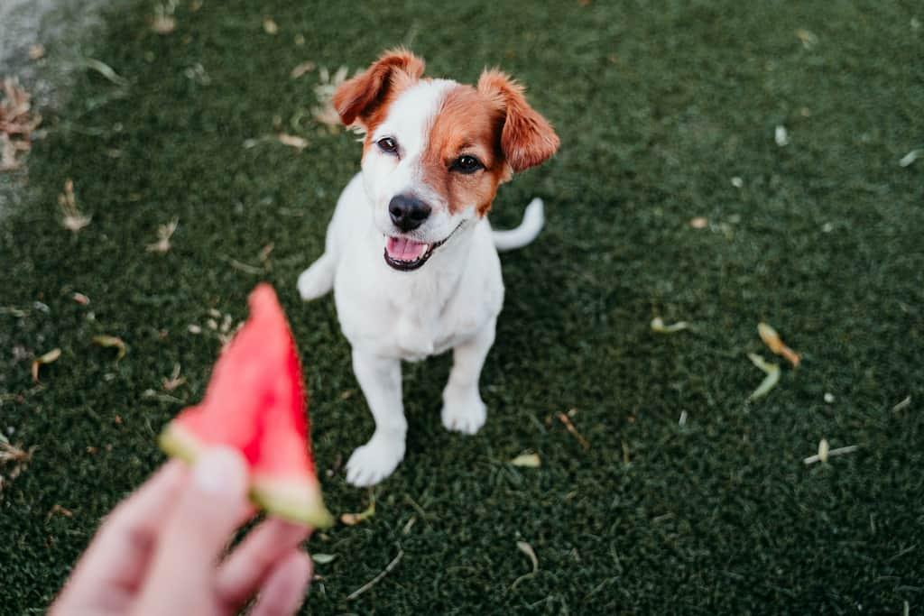 Dog wanting to eat watermelon