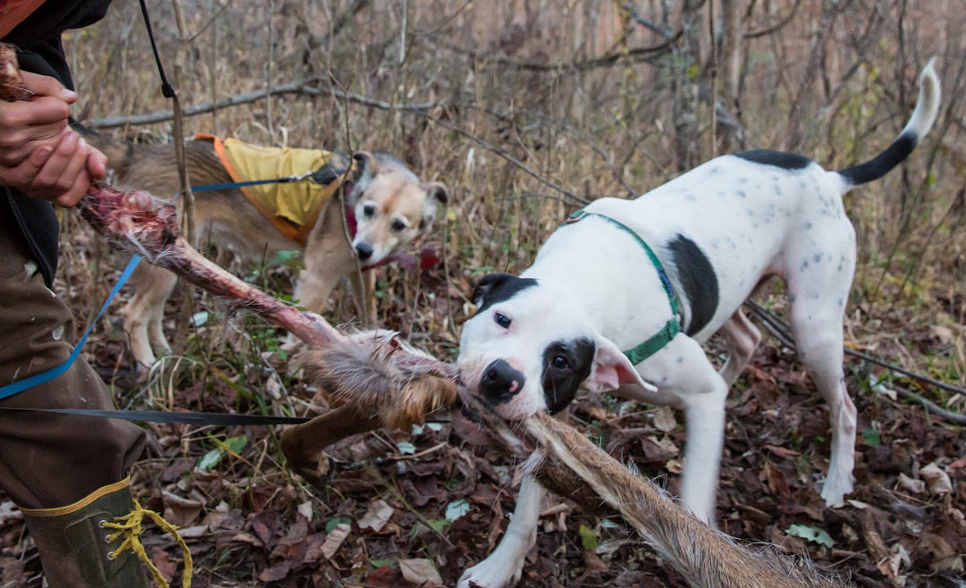 Dog and owner pull a hock off a deer carcass
