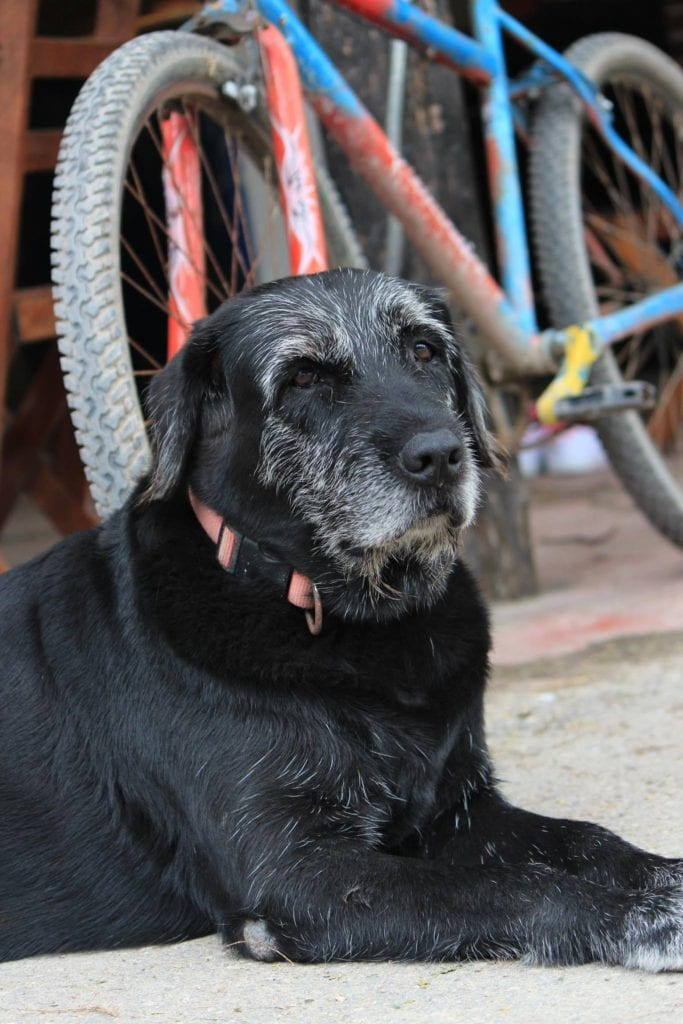 A dog with long lifespan shows greying around the muzzle