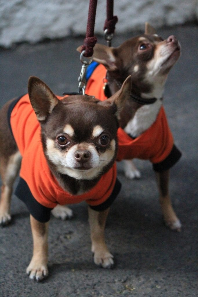 tiny cute dogs pose for photo in matching vests