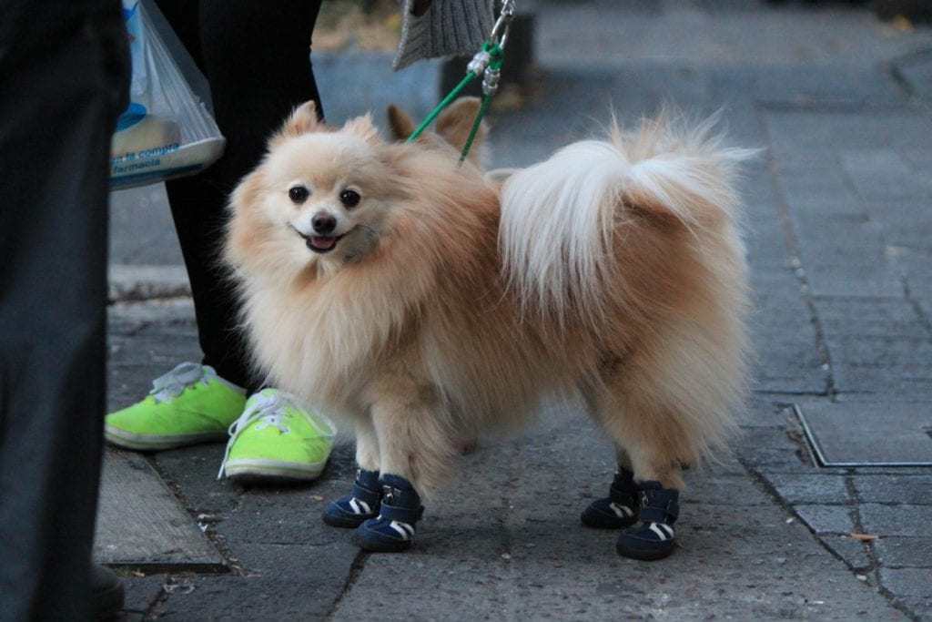 Cute dog photo of Pomeranian wearing booties