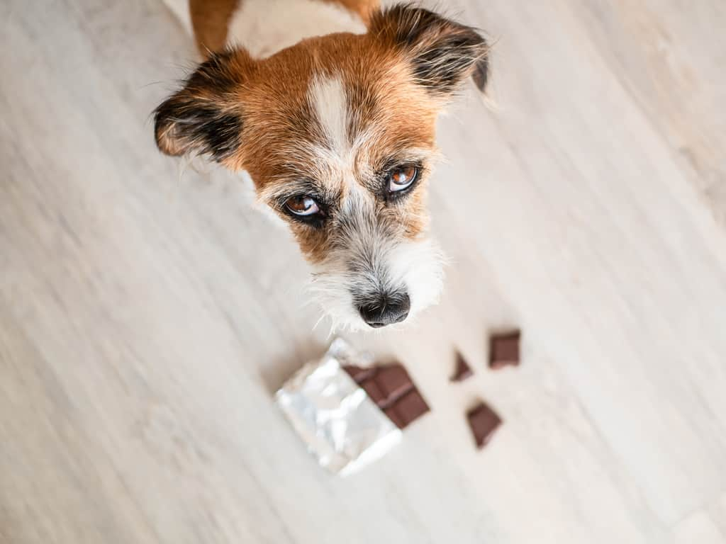 Dog that's just eaten chocolate
