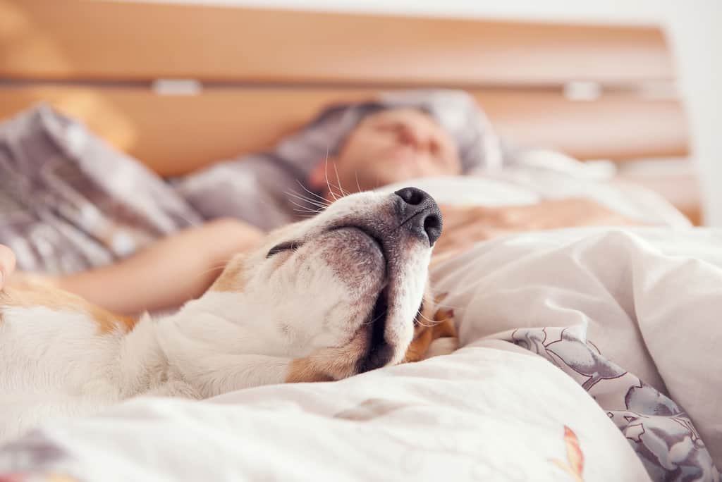 Dog sleeps in bed with owner